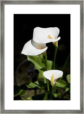 White Calla Lilies Framed Print by Tobias Titz
