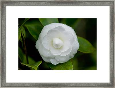 White Camellia Framed Print by Rich Franco