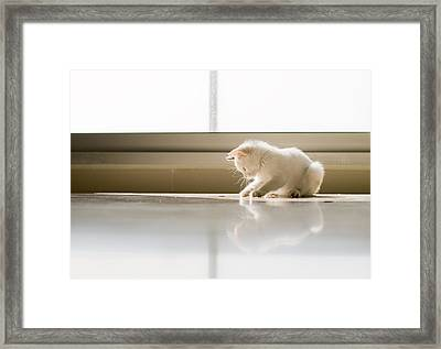White Cat Playing On The Floor Framed Print