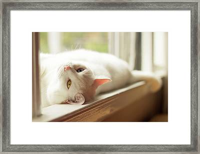 White Cat Relaxing In Windowsill Framed Print by Kathryn Froilan