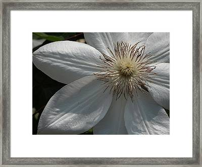 White Clematis Blossom Framed Print by Peg Toliver