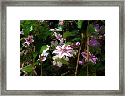 White Clematis Framed Print by Brian Davis