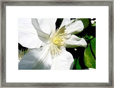 White Clematis Framed Print