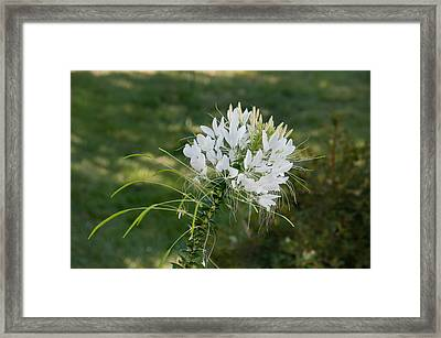 White Cleome Framed Print
