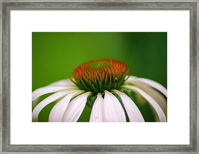 White Coneflower Framed Print