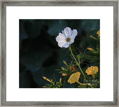 White Cosmos And Four O'clock Floral Framed Print by Marjorie Imbeau