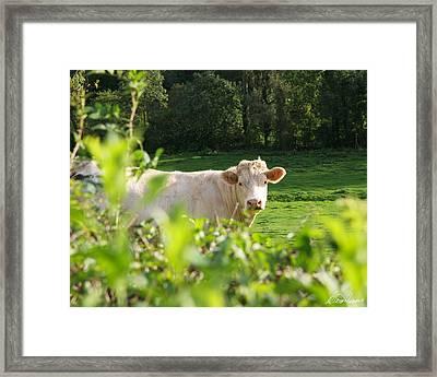 White Cow Framed Print
