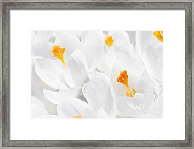 White Crocus Blossoms Framed Print by Elena Elisseeva