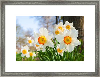 White Daffodils Framed Print by Hans Engbers
