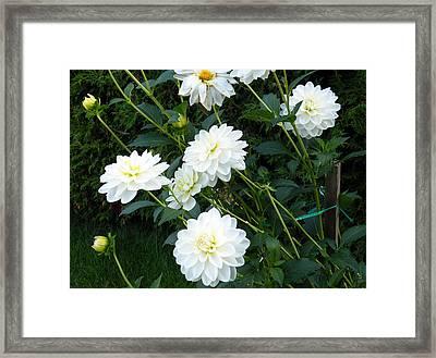 White Dahlia Framed Print by Vicky Tarcau