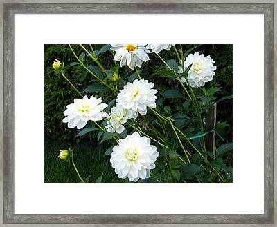 Framed Print featuring the digital art White Dahlia by Vicky Tarcau