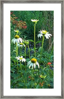 White Daisies And Garden Flowers Framed Print by Thelma Harcum