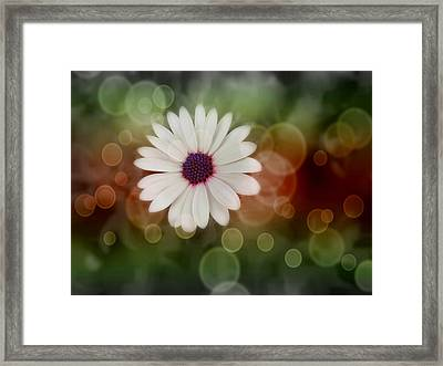 White Daisy In A Sunset Framed Print