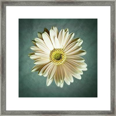 White Daisy Framed Print by Tamyra Ayles