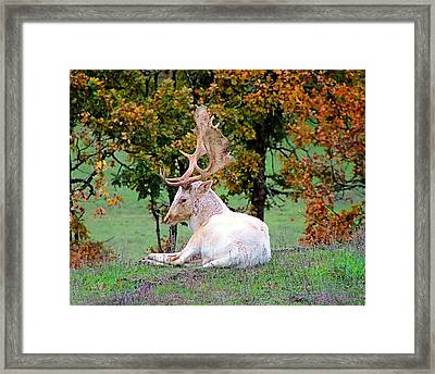 Framed Print featuring the photograph White Deer by Wendy McKennon