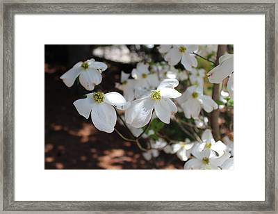 Framed Print featuring the photograph White Dogwood by Bob Whitt