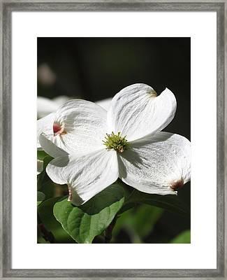 White Dogwood Framed Print by Rebecca Overton