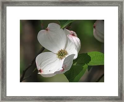 White Dogwood Tree Bloom Framed Print by Rebecca Overton