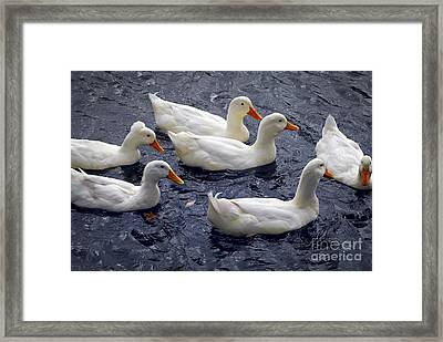White Ducks Framed Print