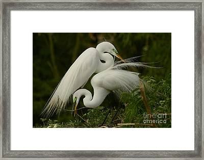 Framed Print featuring the photograph White Egrets Working Together by Myrna Bradshaw