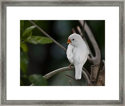 White Finch Framed Print
