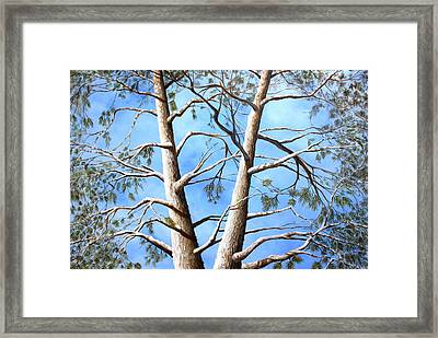 White Fir Tree Framed Print by Ron  Markowitz