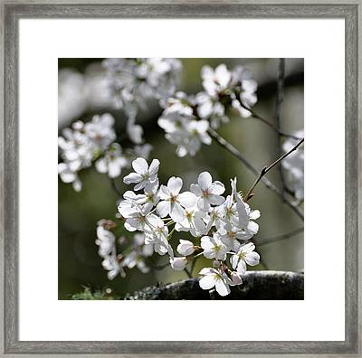 White Flowering Plum Framed Print