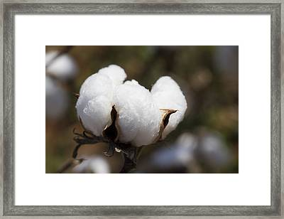 White Fluffy Cotton Boll Framed Print by Kathy Clark