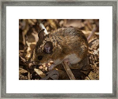 White-footed Mouse Framed Print