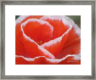 Framed Print featuring the photograph White Fringed Red Poppy by Michele Penner
