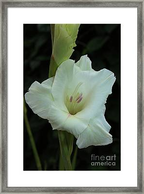 White Gladiolus Framed Print