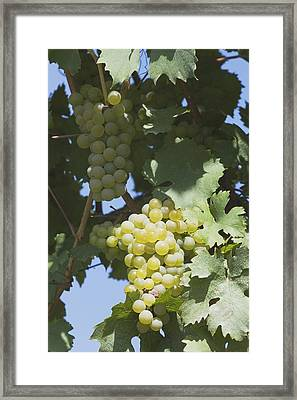 White Grapes On The Vine Framed Print by Michael Interisano