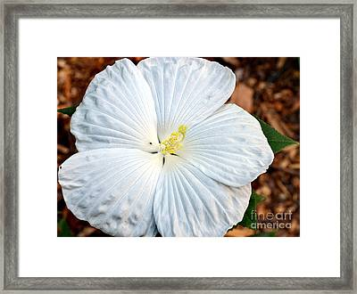 White Hibiscus Bloom Framed Print by Eva Thomas