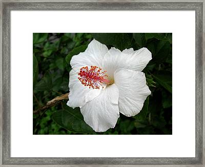 Framed Print featuring the photograph White Hibiscus by Carol Sweetwood