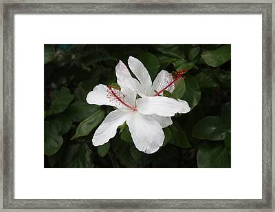 Framed Print featuring the photograph White Hibiscus Twins by Craig Wood