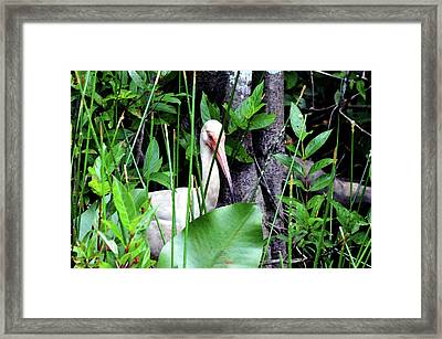 Framed Print featuring the photograph White Ibis At The Everglades by Pravine Chester