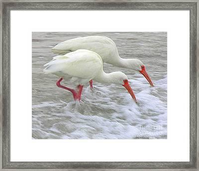 White Ibis Feeding Framed Print by Anne Gordon