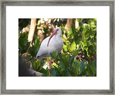 White Ibis Framed Print by Judy Via-Wolff
