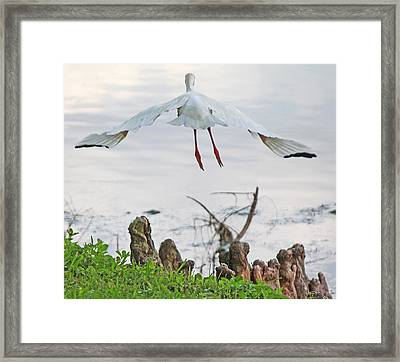 White Ibis Liftoff Framed Print by Becky Lodes