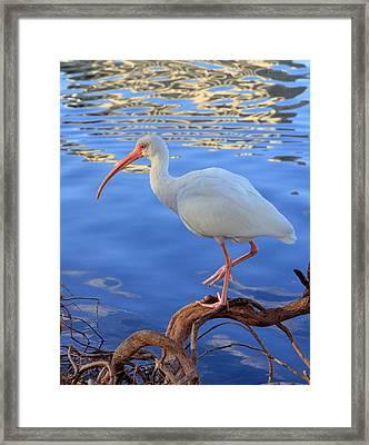 White Ibis Framed Print by Rick Lesquier