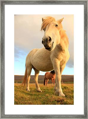 White Icelandic Horse, Iceland Framed Print
