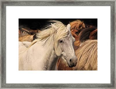 White Icelandic Horse Framed Print