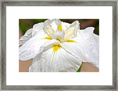 Framed Print featuring the photograph White Iris by Eve Spring
