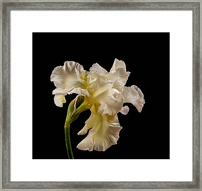 White Iris On Black Background Framed Print