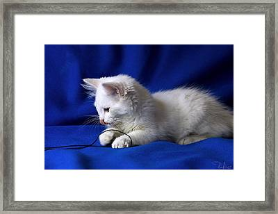 Framed Print featuring the photograph White Kitty On Blue by Raffaella Lunelli