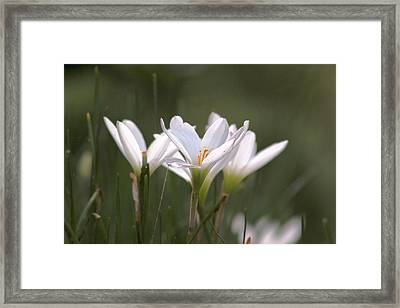 Framed Print featuring the photograph White Lily - Symbol Of Purity by Ramabhadran Thirupattur