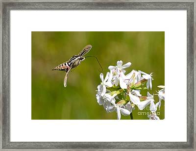 White-lined Sphinx Hummingbird Moth Framed Print by Fred Emms