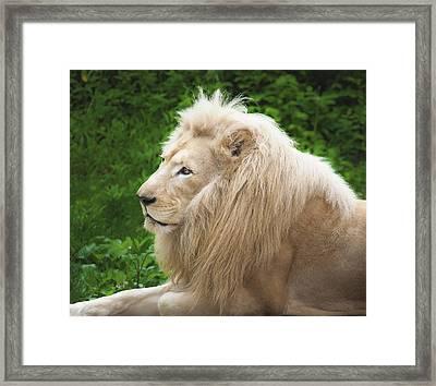 White Lion Framed Print by Jen Morrison