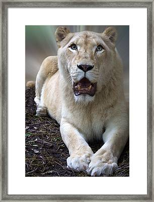White Lioness Framed Print by Elizabeth Hart