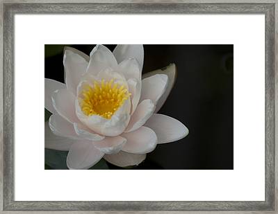 Framed Print featuring the photograph White Lotus by Lisa Missenda